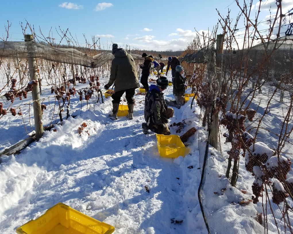 We pick fruit for Riesling Ice Wine when the temperature is no higher than 15 degrees.